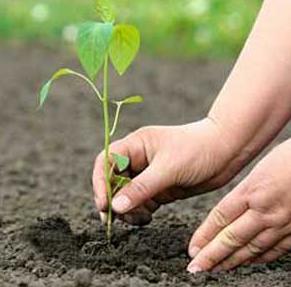 plantar-arvore