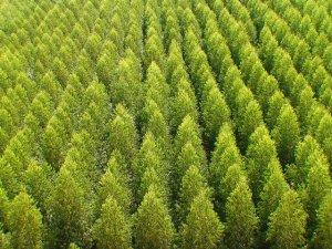 O plantio de eucalipto é predominante nas florestas comerciais produtivas, mas outras espécies vêm sendo plantadas