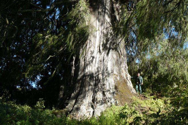 _95464329_tsenden.bhutan'snationaltree.conservedbytheglobaltreescampaign