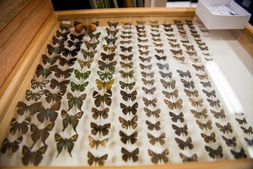 A coleção mantida por Mielke possui 305 mil exemplares de lepidópteras (borboletas e mariposas)