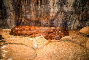 Cobra exposta no Museu de História Natural da UFPR. Foto: Marcos Solivan.